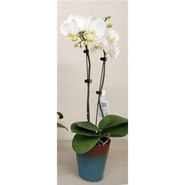 5-inch-orchid-for-them