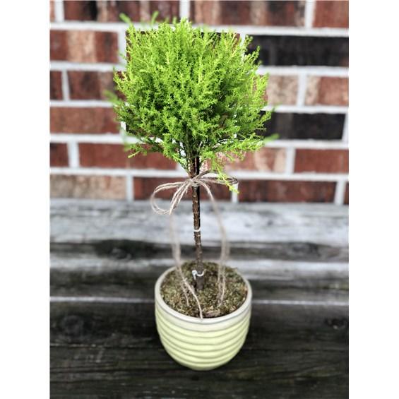 Lemon Cypress Plant Iowa City Ia